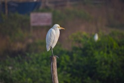 White heron bird standing on wooden stick in the forest