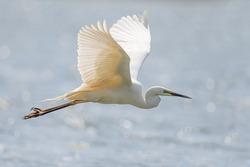 White heron, Great Egret, fly on the lake background. Water bird in the nature habitat. Wildlife scene