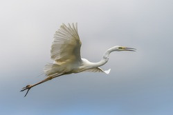 White heron, Great Egret, fly on the sky background. Water bird in the nature habitat. Wildlife scene