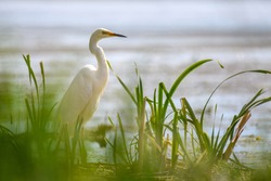 White heron, Great Egret in grass. Water bird in the nature habitat. Wildlife scene