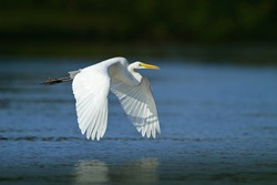 White heron in flight. White large bird above the surface with reflection in the water. Heron with open wings.