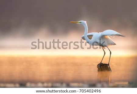 White heron in the morning in a mist by the lake.\n sunrise.Europe,Poland