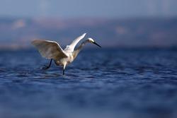 White Heron. Little egret. Blue water nature background. Bird: Little Egret. Egretta garzetta.