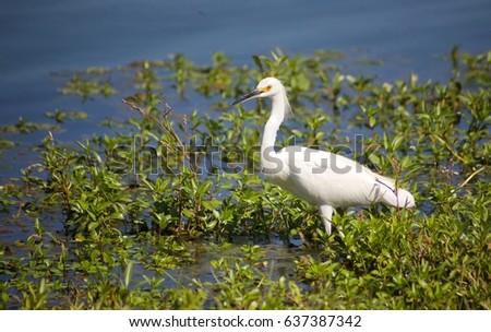 White Heron near the river #637387342