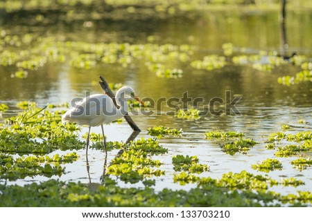 White Heron on a lagoon.