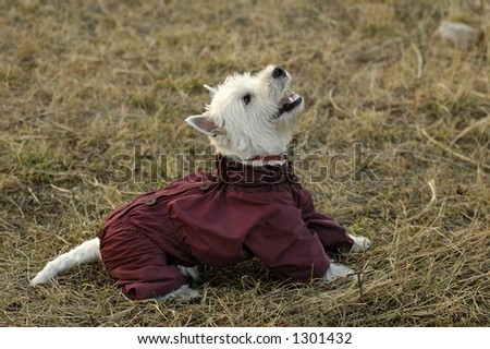 White highland Terrier in funny overalls