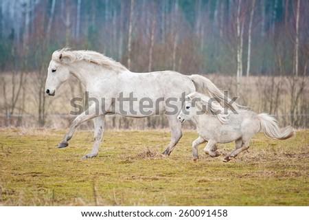 White horse and white shetland pony running on the pasture