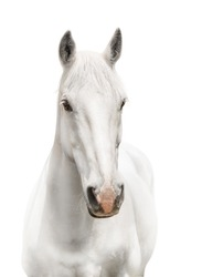 White horse body white background