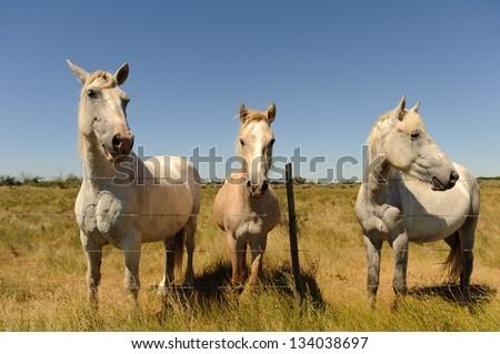 White Horse (Camargue, France)