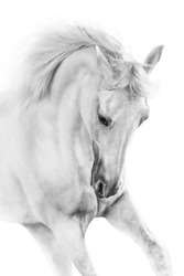 White horse close up on white background