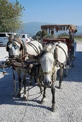 White horse-drawn carriage ride tour