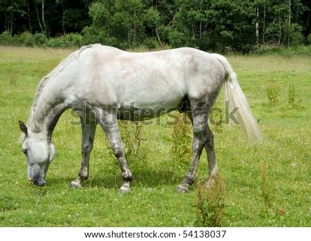 White horse eating grass - photo#15