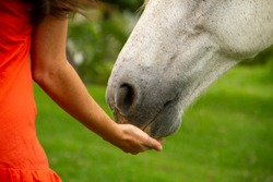 White horse eating in red dress woman hands