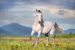 White horse free run on spring meadow against mountain view