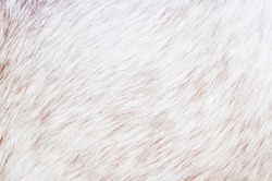 white horse fur