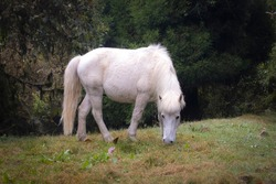 White horse grazing in wild. The wild horse has pure white mane and tail. It grazes in foothills of Himalayas.