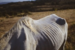White horse in Spanish field