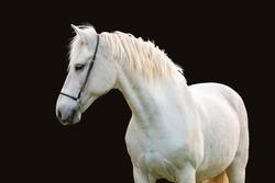 White horse isolated on black background.