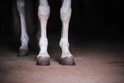 White horse legs close up