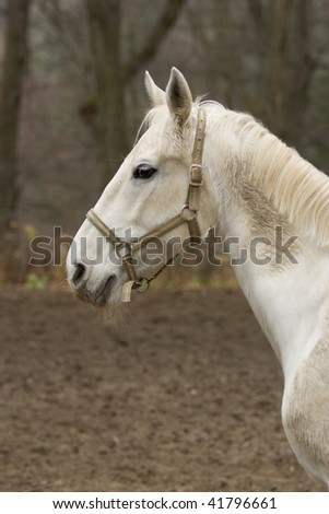 white horse - Lipizzan Home