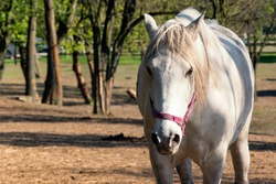 White horse looking at camera. Alone breed horse on pasture. Stallion standing in meadow front view portrait. Strong and powerful animal outside. Gorgeous mammal in rural exterior.