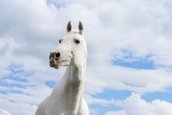 White horse on summer blue sky and clouds with funny interrogative expression. Horse head with large nostrils
