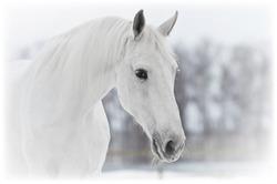 white horse portrait close up in winter