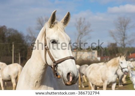White horse portrait. Detailed Picture of the beautiful white horse head outside on the pasture land in the spring. Breed of horse is Kladrubsky horse one of oldest races in Europe and Czech Republic #386732794