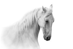 White horse portrait in motion isolated on white