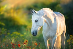White horse portrait in poppy flowers at sunrise light
