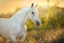 White horse portrait in poppy flowers at sunrise light