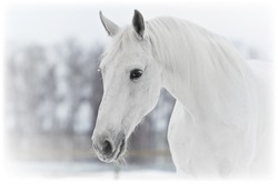 white horse portrait in winter