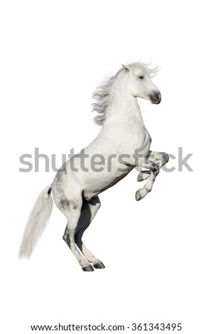 White horse rearing up isolated on white background