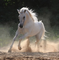 white horse run gallop in dust