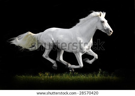white horse run gallop on grass isolated in black