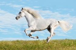 White horse runs gallop on the meadow on sky background