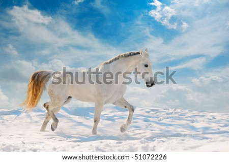 White horse runs in winter field