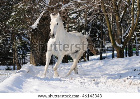 White horse runs in winter forest
