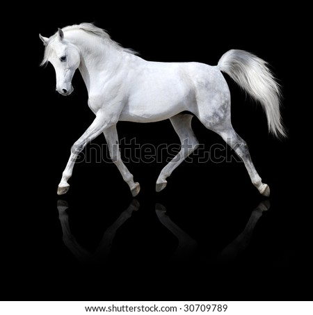 white horse runs isolated on black background