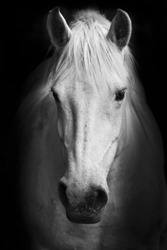 White horse's black and white art portrait.