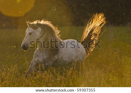 white horse stallion in golden light