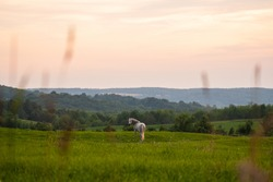 White horse standing in a green field at sunset with rolling hills behind it
