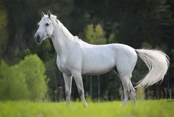 white horse standing on a green field