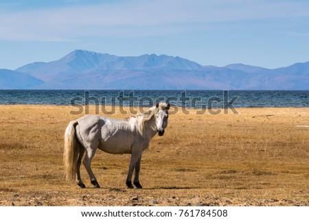 White horse standing on the shore of Lake Hovsgol