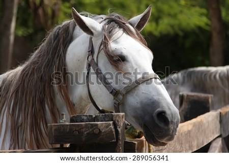 White horse with a gray mane is tied around the hitching post