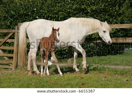 White horse with a new born brown foal standing next to her in a field in spring, with a wooden and wire fence to the rear. (Welsh Section D ponies)