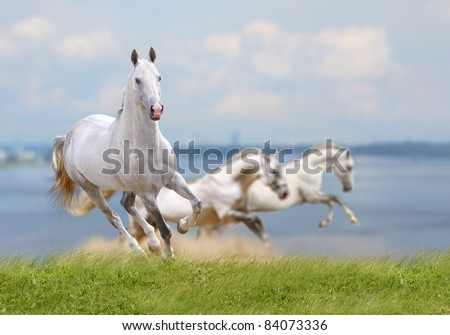 white horses running near water