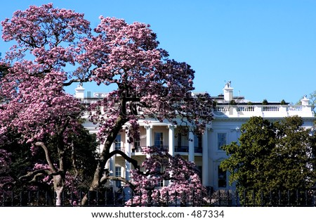 White House Cherry Blossoms White House in Time of Cherry