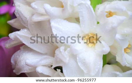White hyacinth flowers with droplets close-up photo