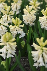 White hyacinth (Hyacinthus orientalis) Louvre blooms in a garden in April